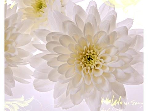 witte bloemen foto chrysanten