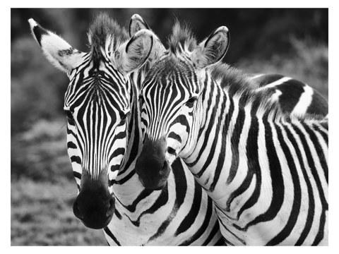 Zebra motief